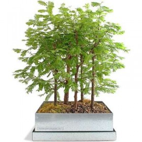 بذر بونسای dawn redwood