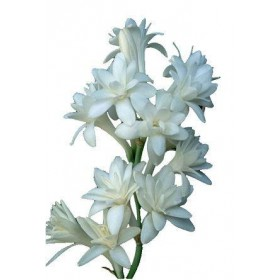 پیاز گل مریم (POLIANTHES TUBEROSA)