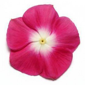 بذر گل پریوش F1 پاسیفیکا (Pacifica XP Burgundy Halo Vinca)