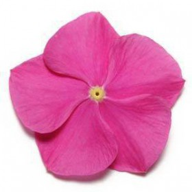 بذر گل پریوش F1 پاسیفیکا صورتی (Pacifica XP Deep Orchid Vinca)