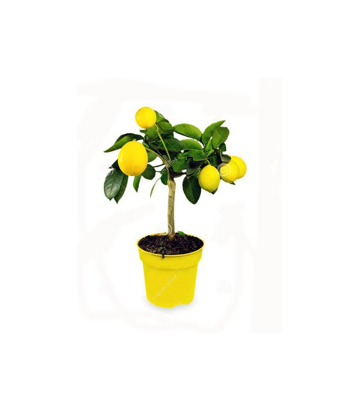 بذر LEMON TREE (لیمو)