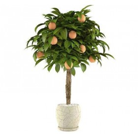بذر Bonsai Orange Tree (پرتقال)
