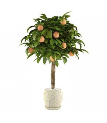 بذر Bonsai Orange (پرتقال)