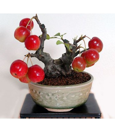 بذر Apple Bonsai (سیب)