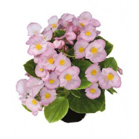 بذر بگونیا همیشه گل دار (Begonia semperflorens f1 sprint appleblossom)