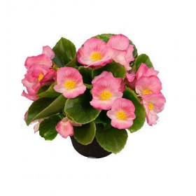 بذر بگونیا سمپرفلورنس (Begonia semperflorens f1 sprint plus pink)