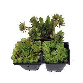 بذر ساکولنت سمپرویوم (Sempervivum Hardy Perennial Species)