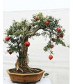 بذر bonsai pomegranate (انار)