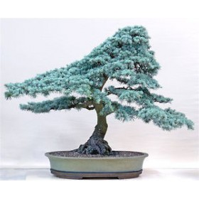 بذر Blue spruce bonsai