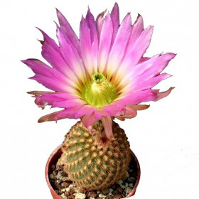 بذر کاکتوس اچینو سرئوس پکتیناتوس ( Echinocereus pectinatus slp v ascension)