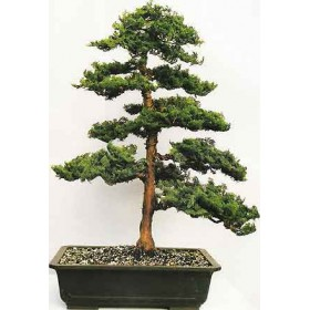 بذر درخت سرو  bonsai tree cypress