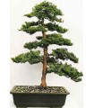 بذر bonsai tree cypress (سرو)