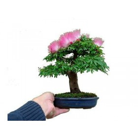 بذر albizia bonsai tree (ابریشم)