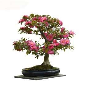 بذر درخت کاملیا (camellia bonsai tree)