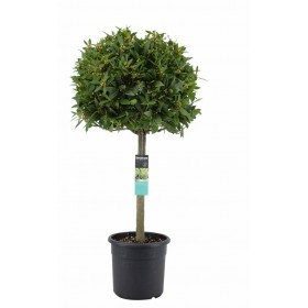 بذر درخت برگ بو | Tree laurel Bonsai Seed