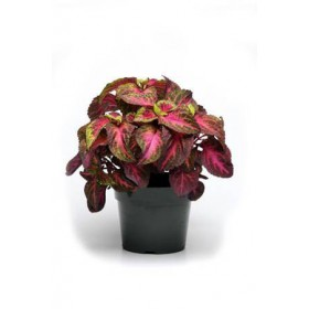 بذر حسن یوسف برگ پهن رز لیمویی مجیک پن آمریکن | Coleus Rose To Lime Magic F1