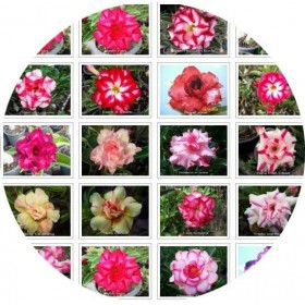 بذر آدنیوم آبسوم واریته تریپل میکس | Adenium Double Triple Flower Seed