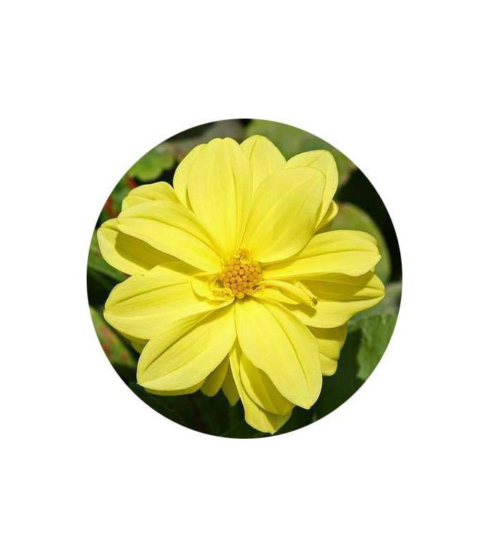 بذر گل کوکب رنگ زرد واریته فیگارو | Dahlia Figaro Yellow Shade