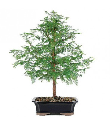 بذر درخت Dawn redwood