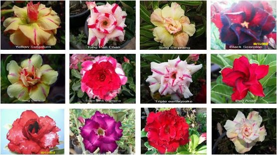 آدنیوم تریپل ADENIUM TRIPLE MIX
