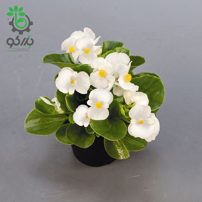 بذر بگونیا سمپرفلورنس سفید (Begonia semperflorens sprint plus white)