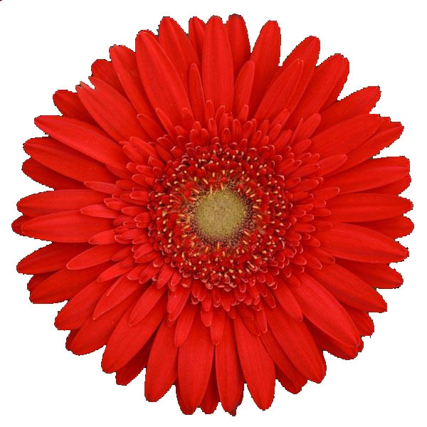 Gerbera jamesonii Scarlet Red Dark