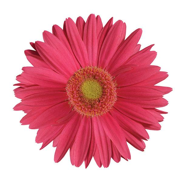 Gerbera jamesonii rose light eye flower