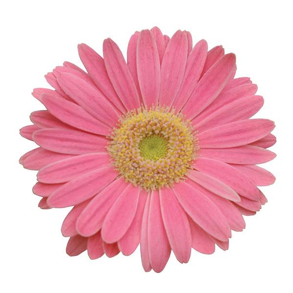 gerbera-revolution-pink-light-eye