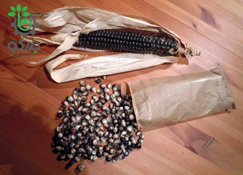Petersen Blue Organic Corn Seed