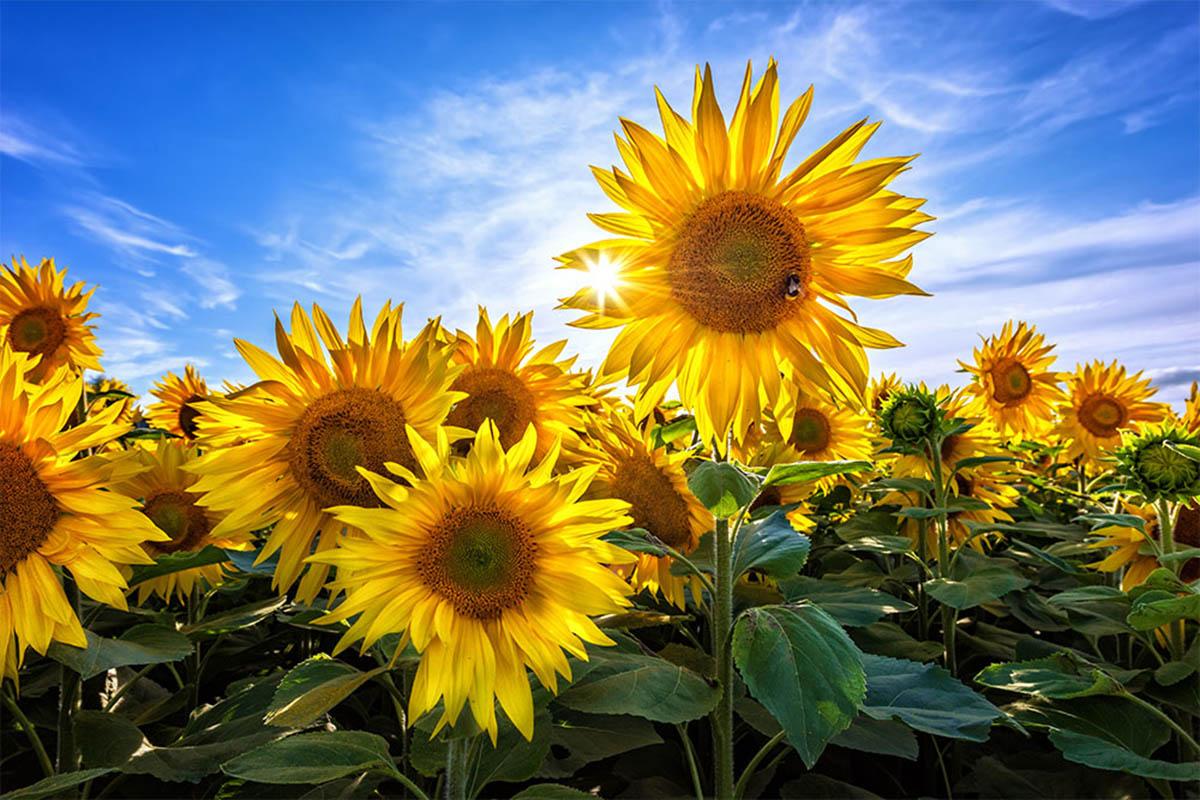 معرفی و مشخصات گل آفتابگردان اعم از آبیاری، خاک مناسب و بستر کاشت