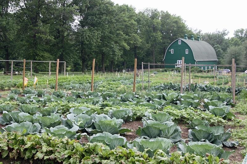 مزرعه کلم بروکلی