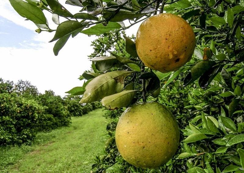 مشکلات درخت پرتقال