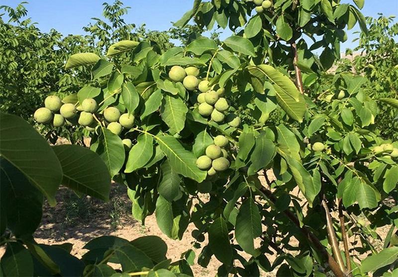 میوه درخت گردو