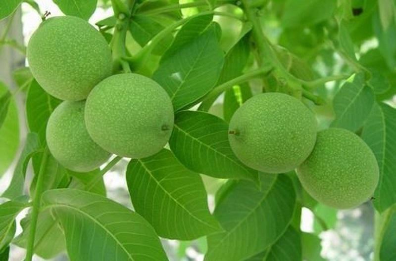 عکس از میوه های با غلاف از انواع گردو