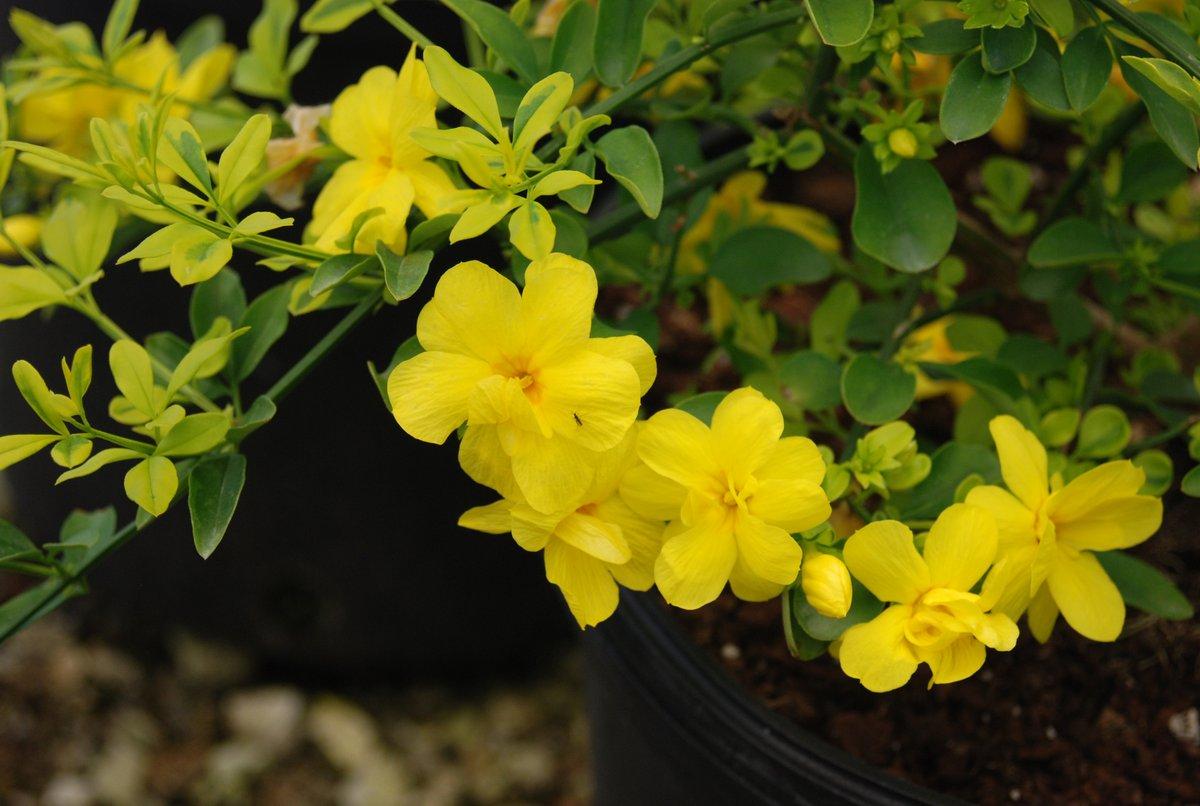 یاس زرد یا یاس ژاپنی Jasminum mesnyi