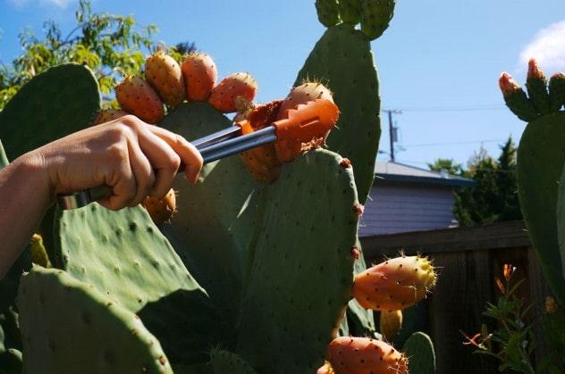 استفاده از انبرک برای چیدن میوه کاکتوس