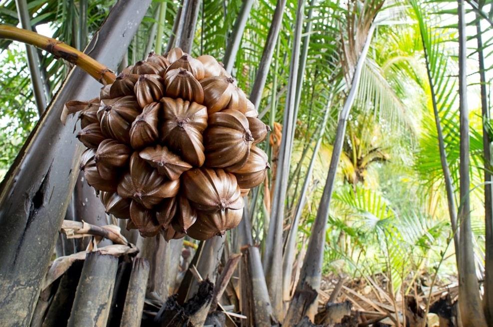 دانه های نیپا Nipah seeds