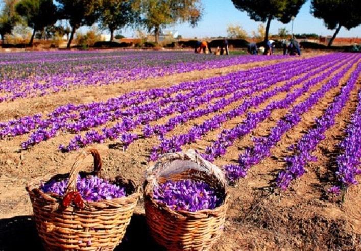 مسیر آبدهی پیاز در کاشت پیاز زعفران