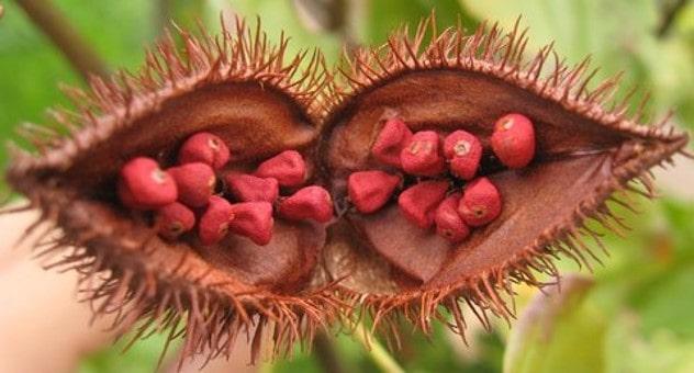 میوه آکیوت Achiote از انواع میوه های استوایی