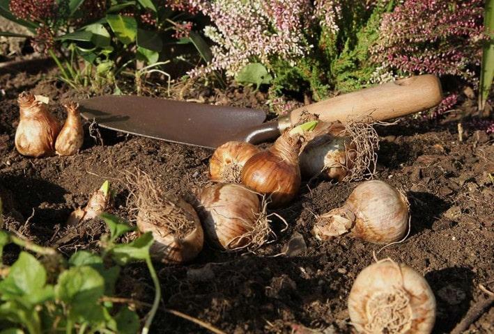 کاشت پیاز گل لاله در اعماق مطلوبی از خاک