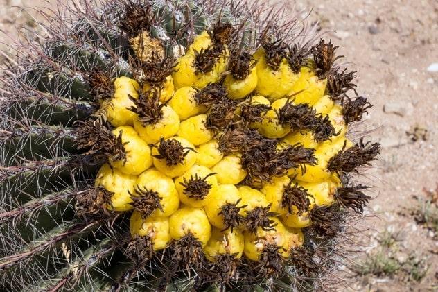 کاکتوس بشکه ای Barrel Cactus