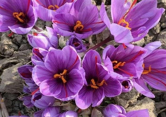 گیاه زعفران، گیاهی از تیره زنبق سانان