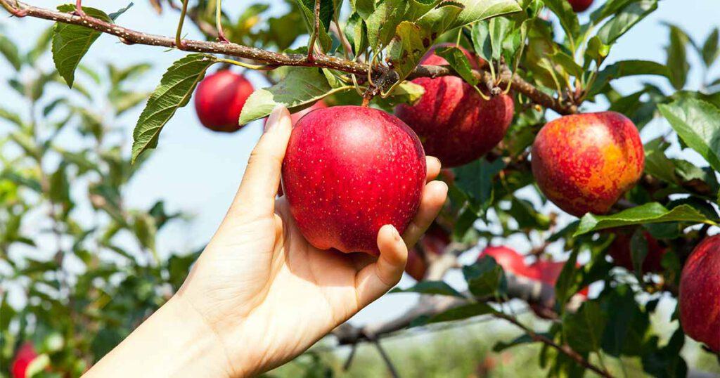 درخت سیب