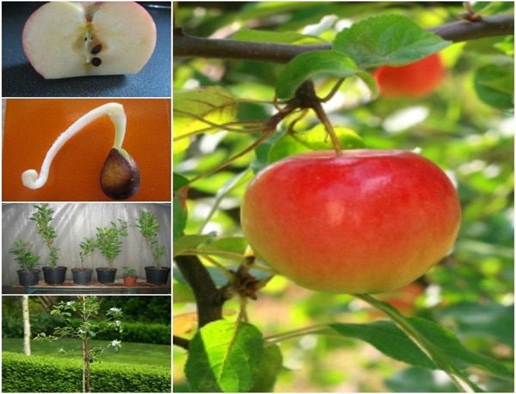 آموزش کاشت بذر سیب