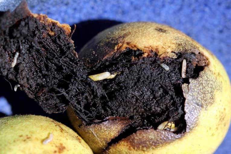 آفات میوه درخت گردو