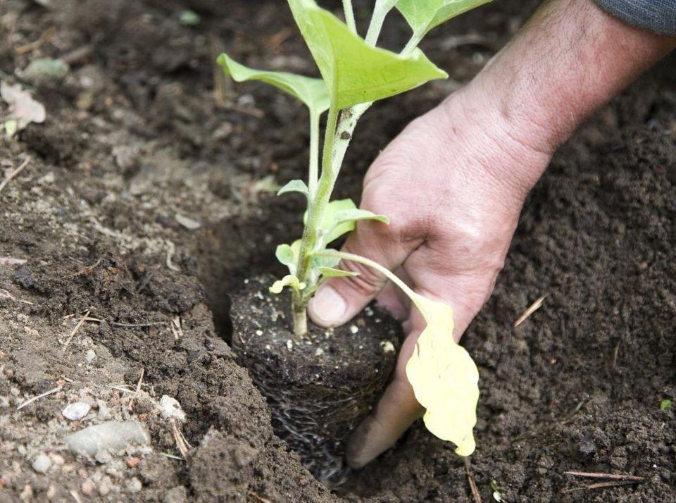 نحوه کاشت بذر بادمجان