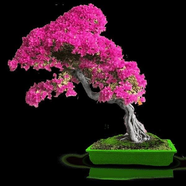 درخت ارغوان